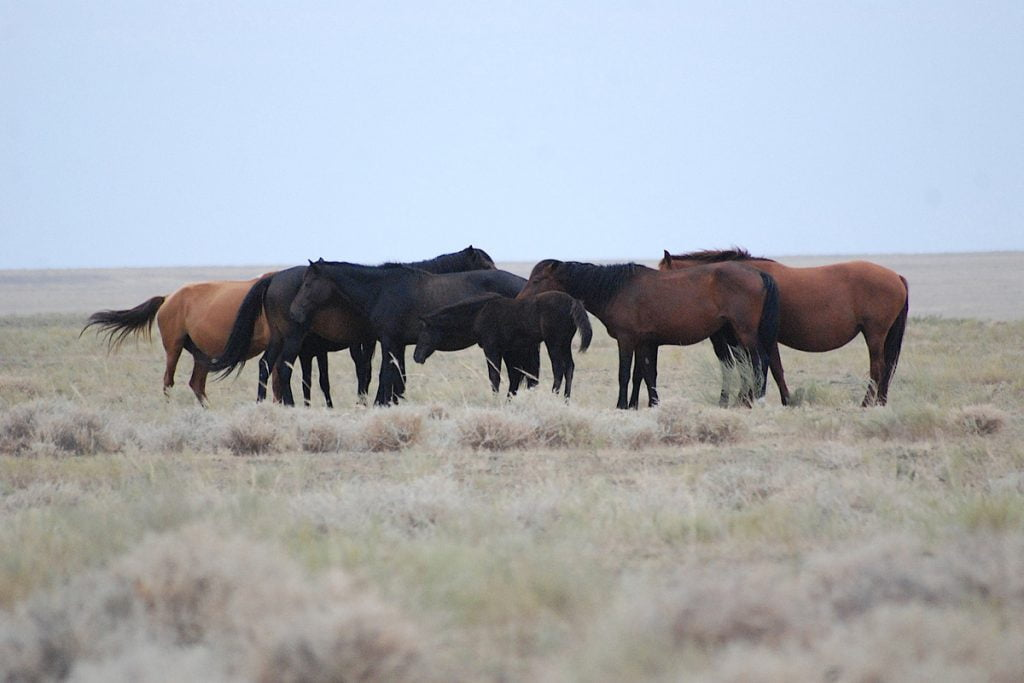 Horses - Kazakstan